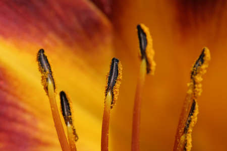 anthers: lily anthers macro with a burst of color. shallow depth of field. Stock Photo