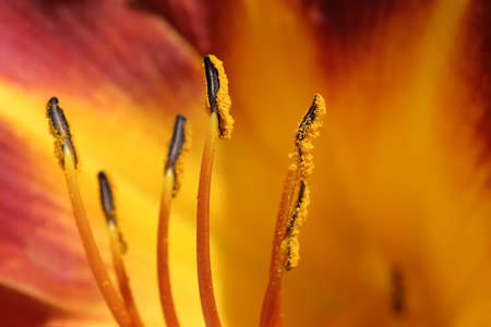 anther: extreme close up of a lily with shallow depth of field and focus on an anther.