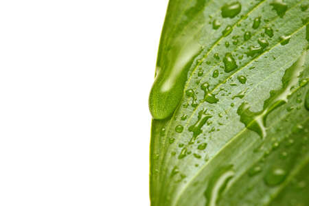macro of water droplets on leaf, with shallow depth of field and focus on large drop Stock Photo