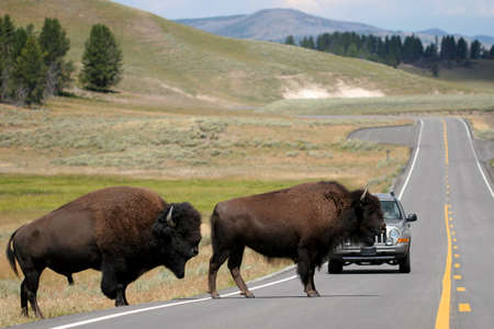 yellowstone: two bison slowly make their way across the road. rush hour in yellowstone national park, wyoming.