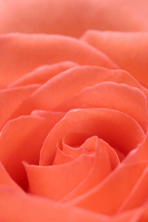 abstract rose background - soft macro with shallow depth of field Stock Photo