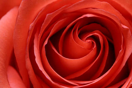 rose abstract macro with shallow depth of field