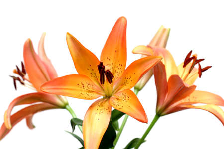 three lily over white. shallow depth of field with focus on front stamen. Stock Photo
