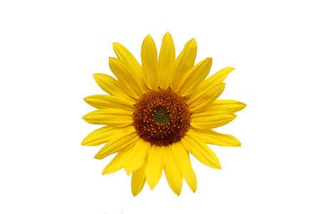 rou: sunflower macro shot over white background