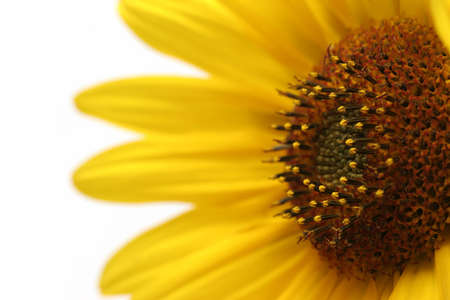 sunflower macro, angled and shot over white with shallow depth of field photo