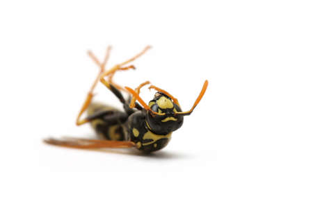 a dead wasp on its back, macro over white. photo