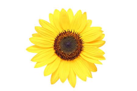 sunflower macro shot over white background