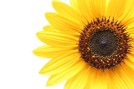 sunflower isolated: bianco delleccedenza sparato macro del girasole