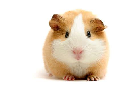 cerdos: Conejillo de indias dispararon m�s de cerca blanca
