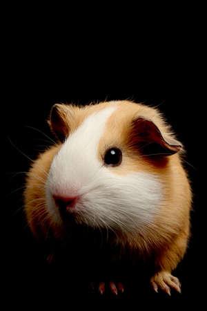 tame: conejillo de m�s de negro - closeup con especial atenci�n a los ojos