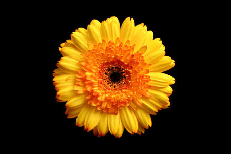 orange and yellow gerbera over black Stock Photo - 296892