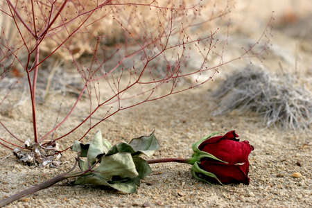 breaking up: lost dry rose laying on the ground, symbolising lost love or breaking up. closeup with focus on bud.
