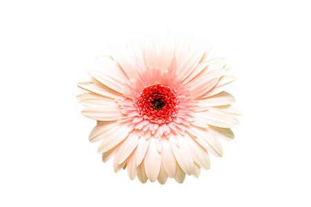 highkey: pink gerbera daisy - beautiful soft pink gerbera isolated on white, shot highkey
