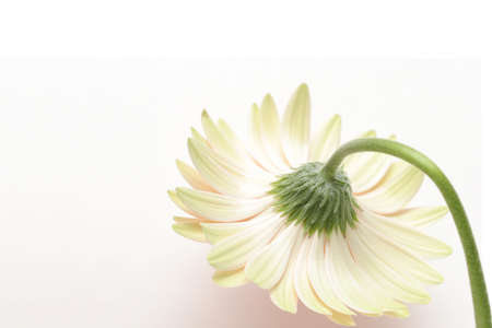 reluctant: shy gerbera daisy. closeup with copyspace, shot over white with shadow.