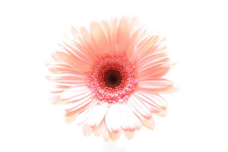 pink daisy macro shot highkey and isolated over white. focus on center. photo