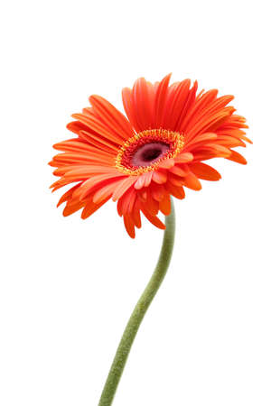 gerbera daisy closeup with limited depth of field - focus on center, isolated over white