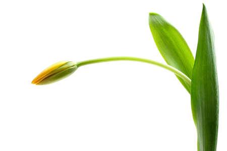 highkey: yellow tulip macro over white, highkey