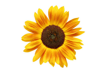 sunflower with beautiful lightly rusting-looking petals. macro isolated over white. photo