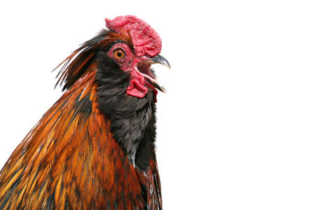 rooster crowing - closeup isolated over white, crop of full frame. Stock Photo - 410189