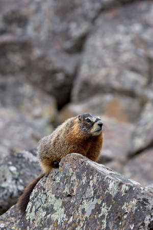 yellow-bellied marmot, a ground squirrel also commonly called a rockchuck and a close relative of the groundhog, perched on a rock in yellowstone national park, wyoming photo