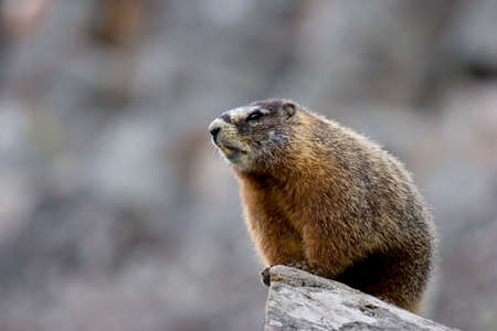 commonly: yellow bellied marmot in yellowstone national park, wyoming. type of ground squirrel also commonly referred to as a rockchuck. Stock Photo