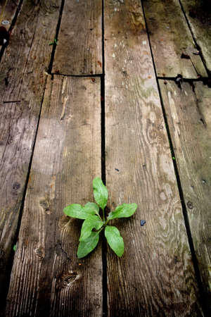emergence: life - young green plant emerging through the cracks of an old wooden floor from an abandoned warehouse. focus on plant.