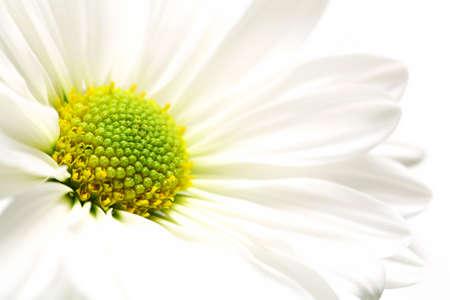 highkey: daisy burst - white daisy highkey macro over white, shallow depth of field