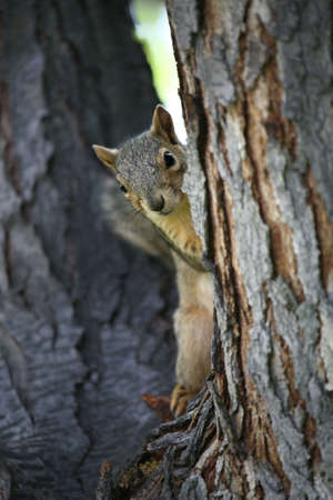 curiously: squirrel peeking from behind the tree, curiously watching on Stock Photo
