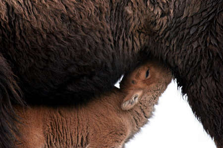 bison calf feeding - yellowstone national park photo