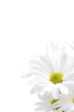 highkey: white daisies highkey closeup. full frame 5D image isolated over white.