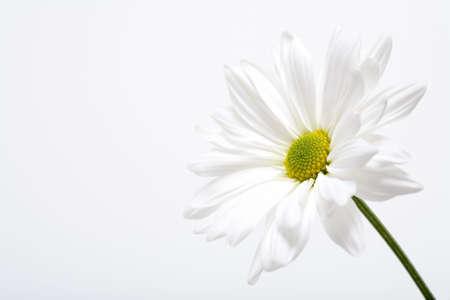 highkey: white daisy macro in highkey Stock Photo