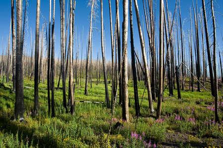 regeneration: Incendi boschivi e la nuova vita dopo. Yellowstone parco nazionale, da yellowstone lago, wyoming.