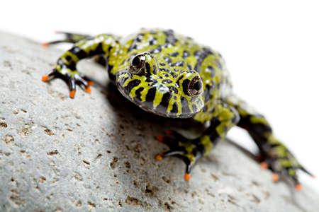 la rana sulla roccia fuoco-ha gonfiato il rospo sul bianco con profondità del campo poco profonda, fuoco sugli occhi.