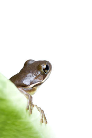 looking around: frog on leave, looking around. isolated on white, macro with limited depth of field and focus on eye.