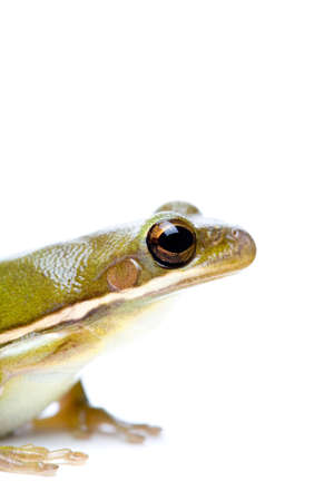 green tree frog: green tree frog on white, from the side. macro with limited depth of field, focus on eye. Stock Photo
