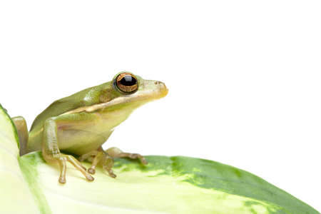 tree frog sitting on a leaf, isolated on white. macro with limited depth of field. Stock Photo - 643686