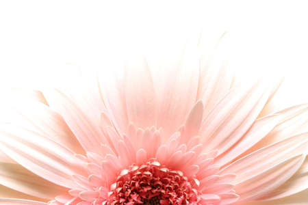 highkey: pink daisy macro in highkey over white, limited depth of field