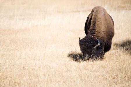 bison grazing in yellowstone national park, wyoming, plenty of copyspace Stock Photo - 643707