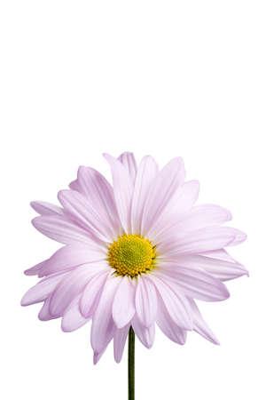 daisy stem: daisy close-up isolated on white