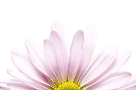 daisy sunrise - soft lavender daisy Chrysanthemum, highkey macro isolated on white Stock Photo - 741280