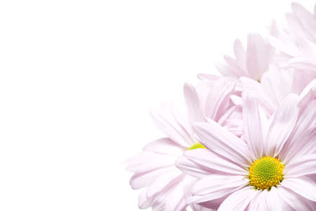 highkey: daisy corner isolated on white. Lavender daisies shot highkey, full frame 5D macro with limited depth of field