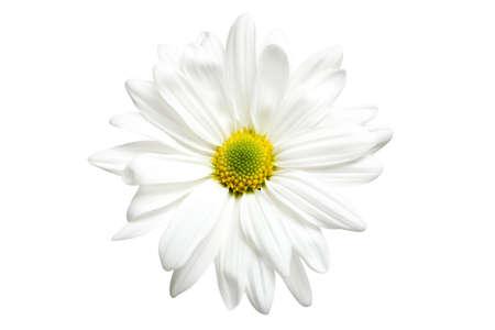 highkey: white daisy chrysanthemum isolated on white, highkey macro