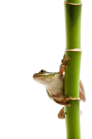 frog on green bamboo, macro isolated on white photo