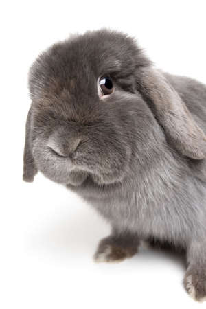rabbit leaning over and looking into camera. female holland lops rabbit, focus on eye. Stock Photo