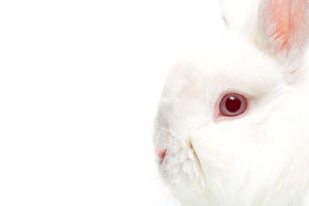 highkey: rabbit on white, highkey closeup with focus on eye over white