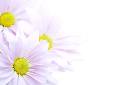 flowers border - beautiful lanvender daisies highkey on white Stock Photo