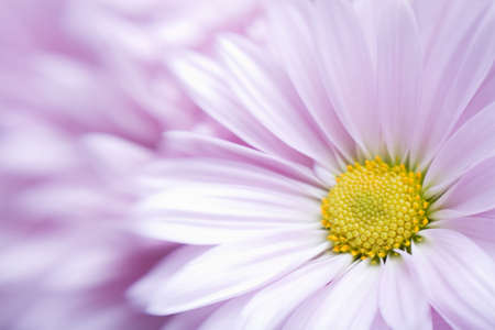 flower background, lavender daisy, optical blur with focus on flower center