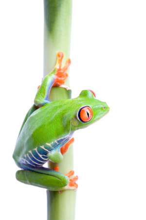 agalychnis: frog on bamboo, macro of a red-eyed tree frog (Agalychnis callidryas) isolated on pure white