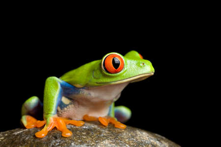 tree frog: red-eyed tree frog (Agalychnis callidryas) on a rock, closeup isolated on black background
