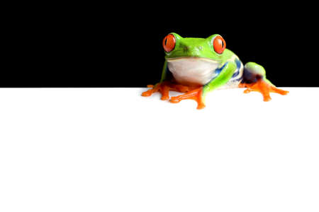 tree frog: frog border, black background on white space for copy, easily edited for use as banner, display, etc. red-eyed tree frog (Agalychnis callidryas) macro.